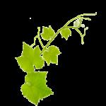 Vignes-mères / Pépinières viticoles